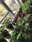 Seedlings in the window