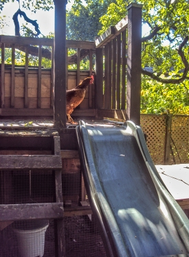Chicken at top of slide.