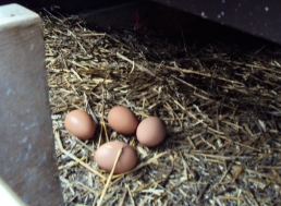 Eggs in straw in chicken coop.